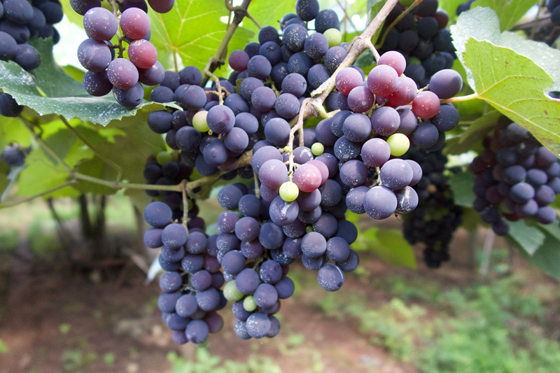 Mystery Solved: Why Grapes are Toxic to Dogs
